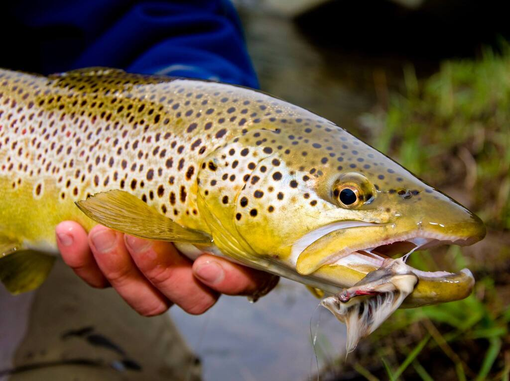 Upper Delaware River Brown Trout