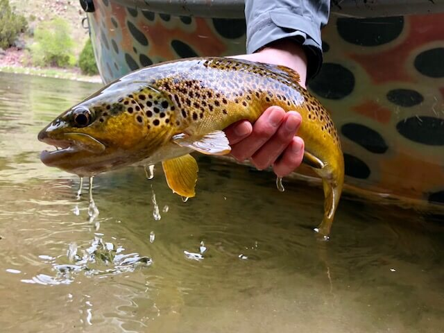 Average Green River Brown Trout
