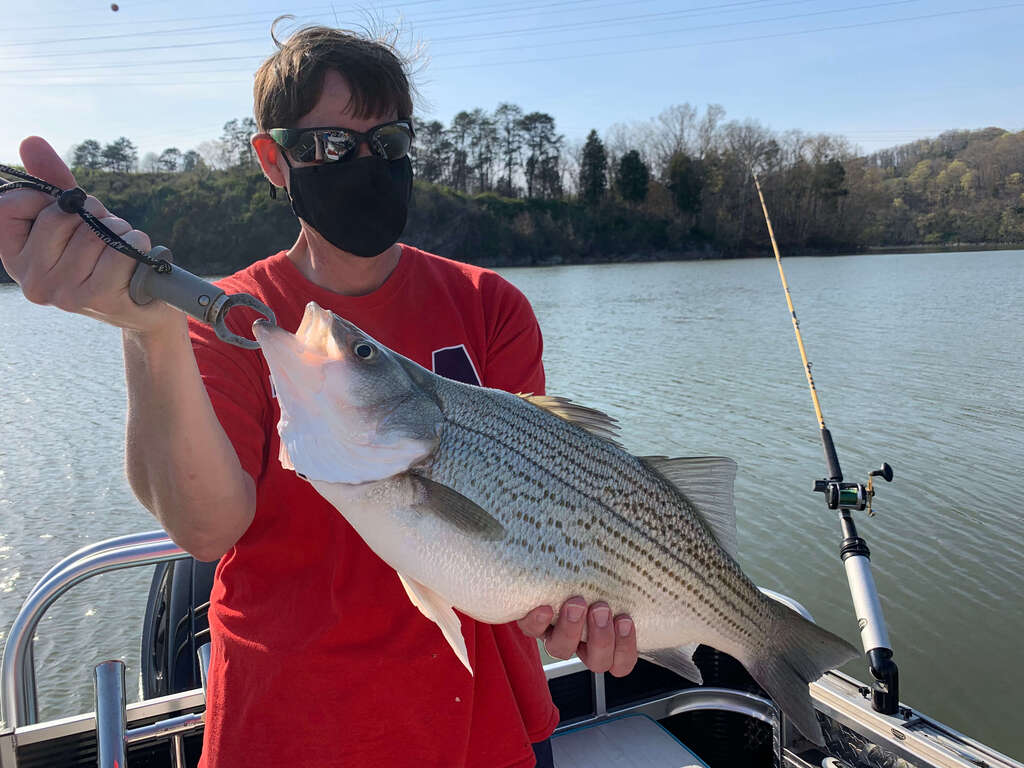 Catch Hybrids on Cherokee Lake