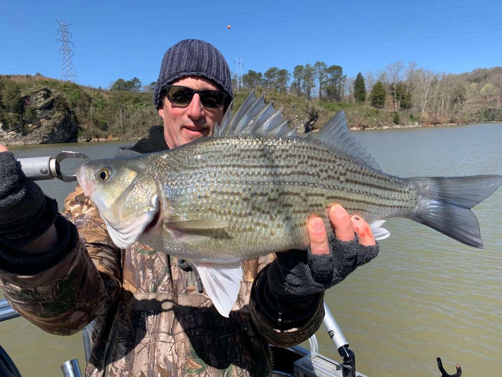 Cherokee Lake Stripers Fishing