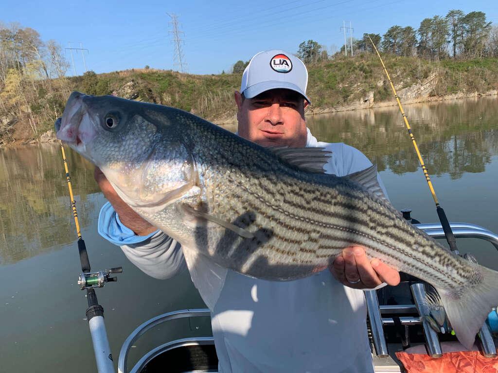 Striper Bass on Cherokee Lake